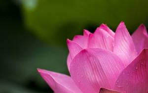 lotus-614494_1920