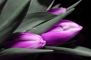 tulip-123794_1920